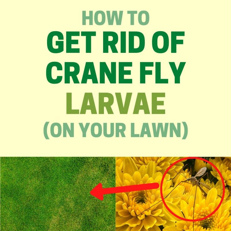 How to get rid of crane fly larvae on lawn.