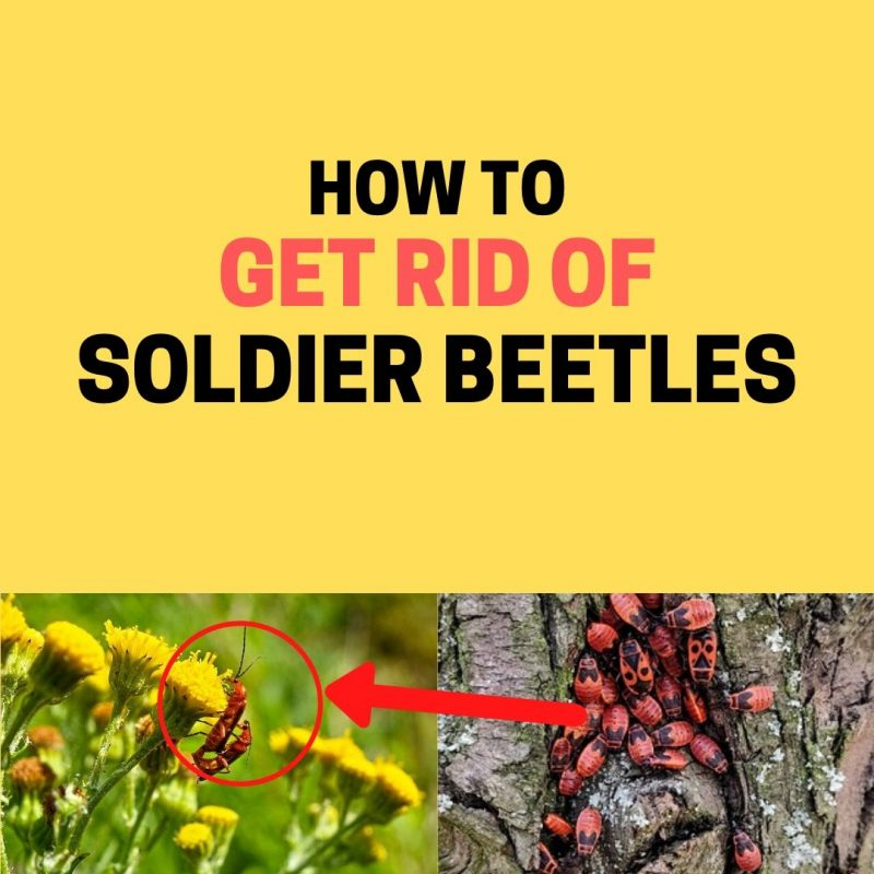 How to get rid of soldier beetles naturally.