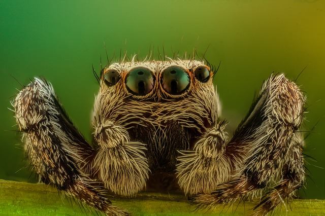 Jumping spider closeup.