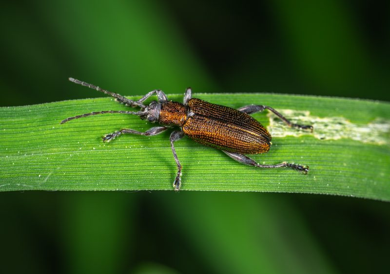 Soldier beetle pest.