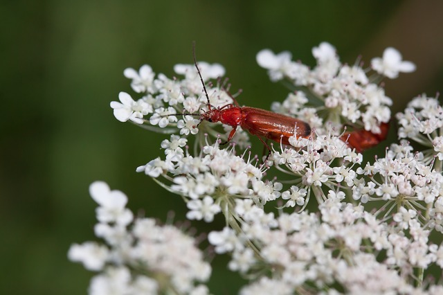 Soldier beetles on flower.