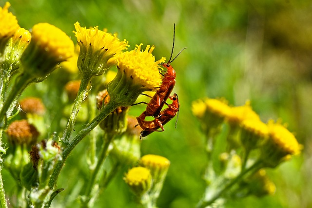 Soldier beetles mating.
