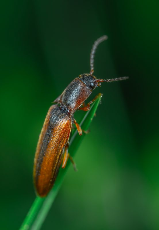 Click beetle eating plant.