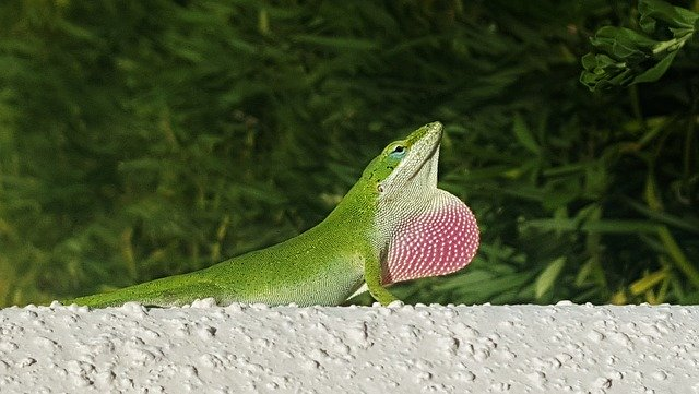 Dewlap male anole.