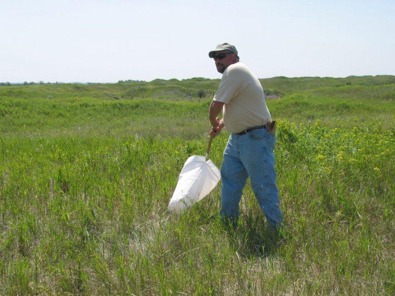 Catching flea beetles.