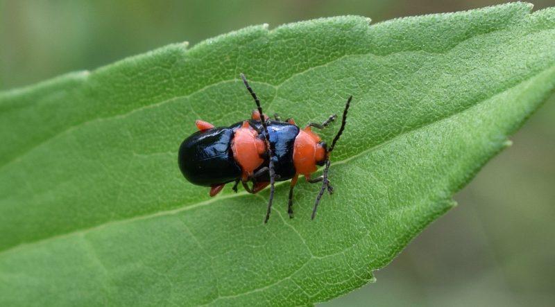 Flea beetle eating a plant.