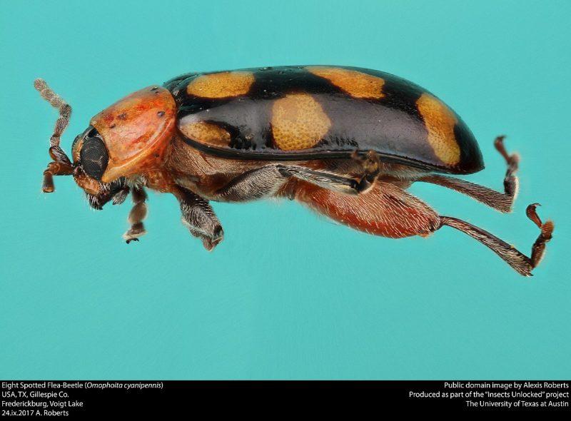 Flea beetle side view.