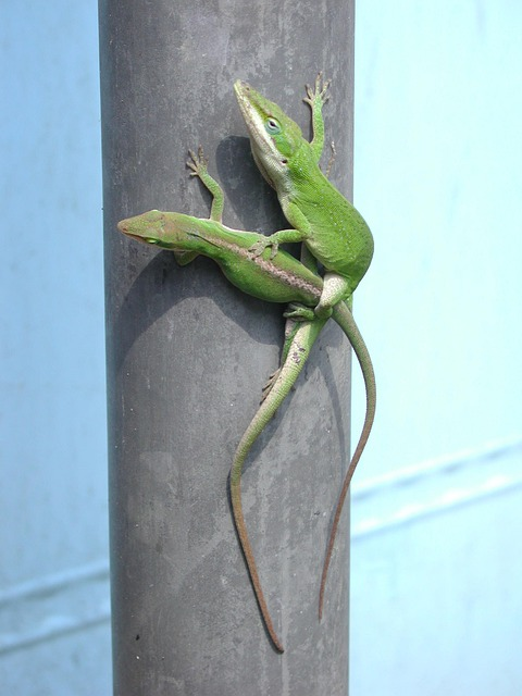 Green anoles mating.