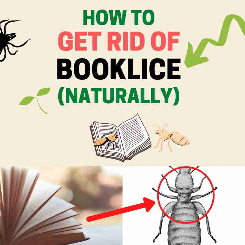 DIY home remedies get rid of booklice.