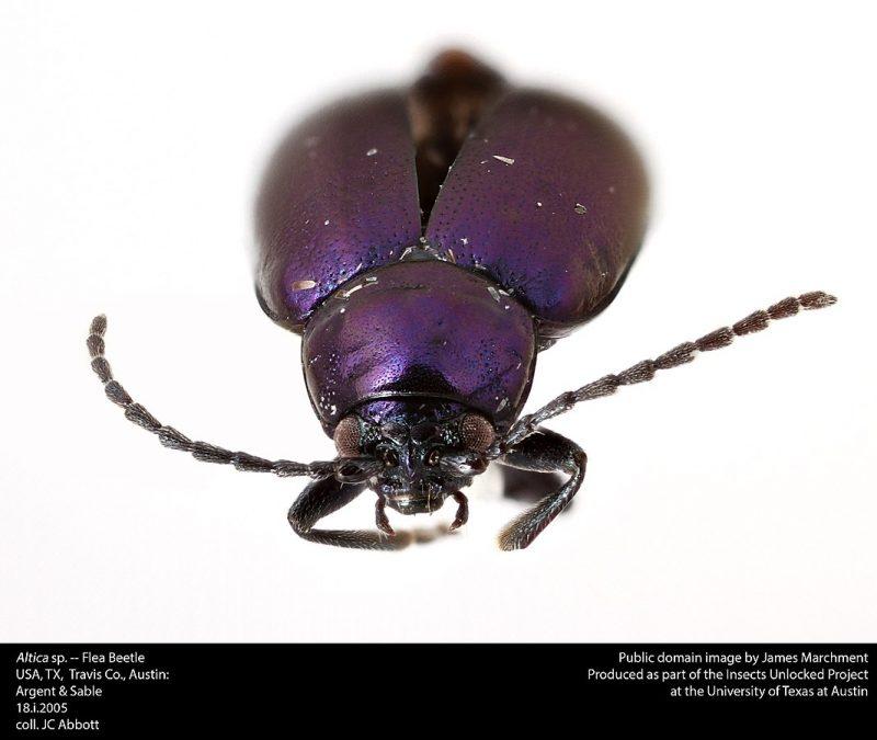 Flea beetle closeup.