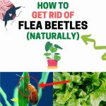 How to Get Rid of Flea Beetles Naturally (Home Remedies)