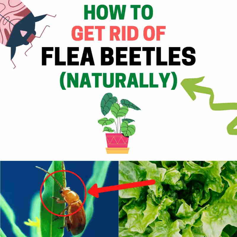 how to get rid of flea beetles home remedies - How To Get Rid Of Flea Beetles On Potato Plants