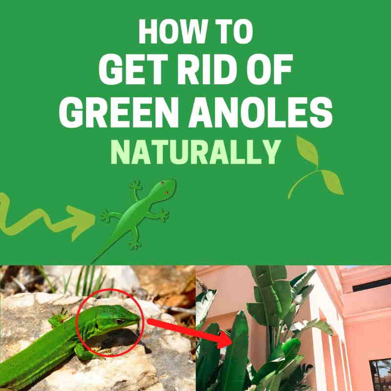 How to get rid of green anoles in the yard.