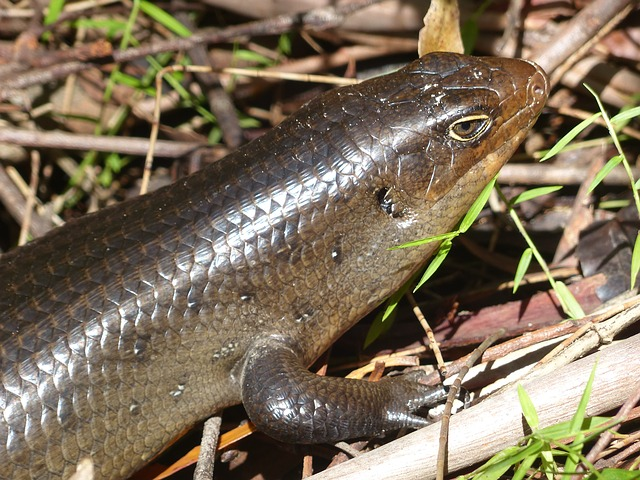 A skink poison at work.