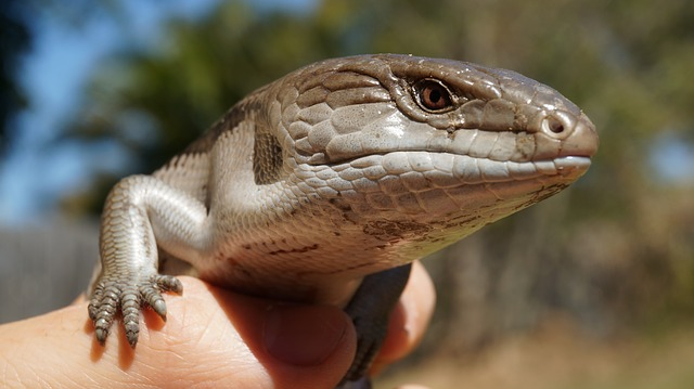 Holding a skink outdoors.
