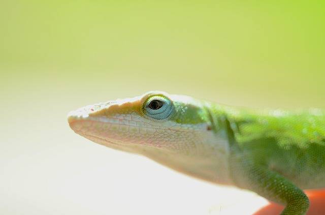 Green anole appearance.