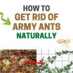 How to Get Rid of Army Ants Naturally (Ultimate Guide)