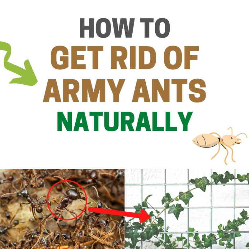 How to get rid of army ants.