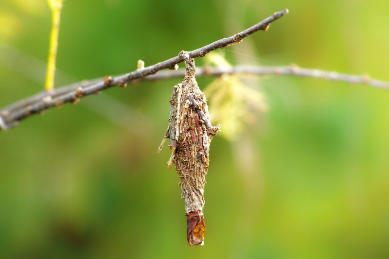 Plaster bagworm hanging from twig.