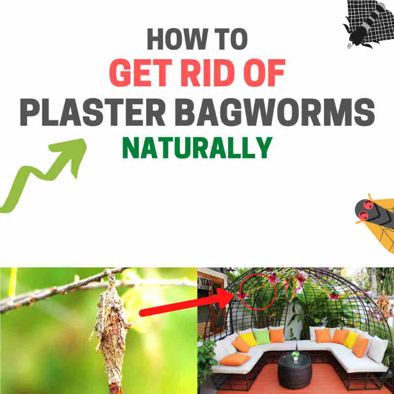 How to get rid of plaster bagworms naturally.