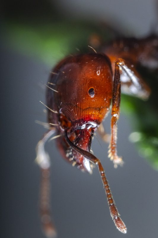 An army ant macro shot showing the jaw.
