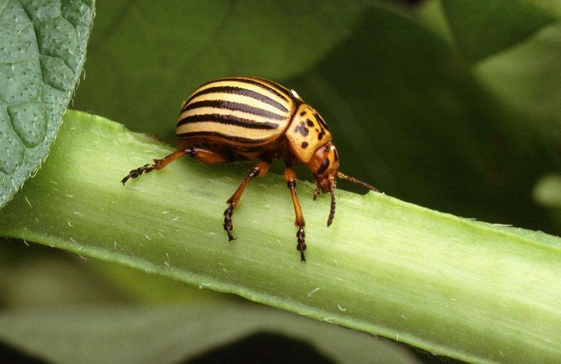 Colorado potato beetle on a stalk.