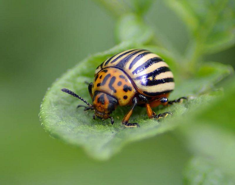 Potato bug on a tomato leaf.