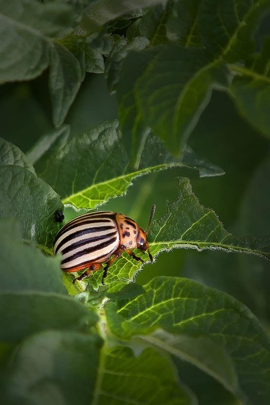False potato beetle.