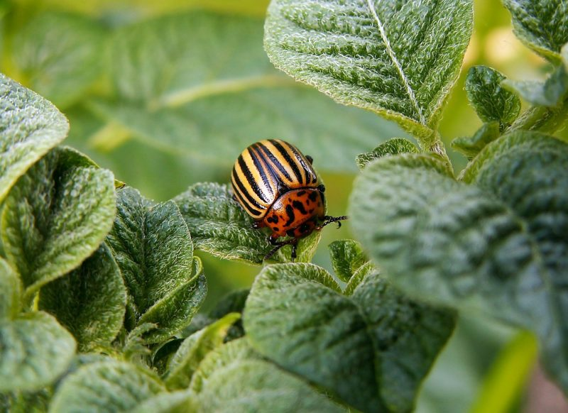 Colorado potato beetle eating a leaf.