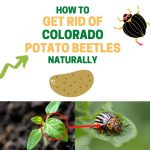How to Get Rid of Colorado Potato Beetles (Naturally)