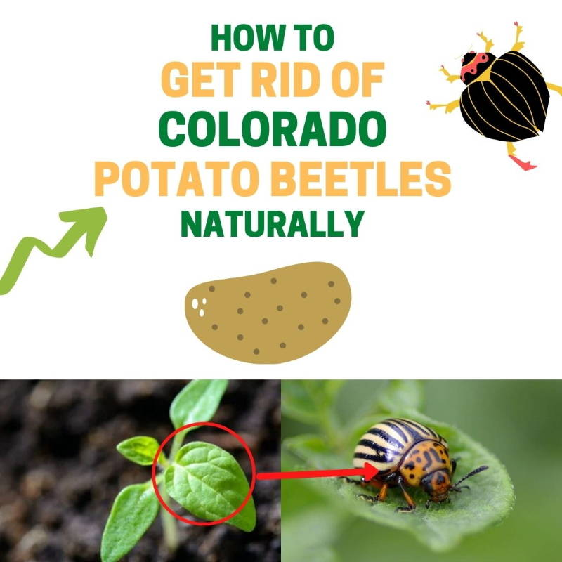 How to get rid of potato beetles.