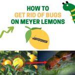 Get Rid of Meyer Lemon Tree Pests (What's Eating My Leaves?)