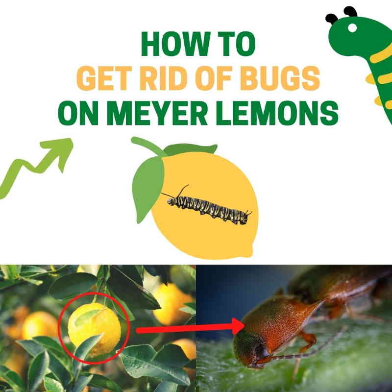 How to get rid of Meyer lemon pests.