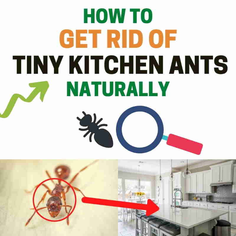 How to get rid of kitchen ants.