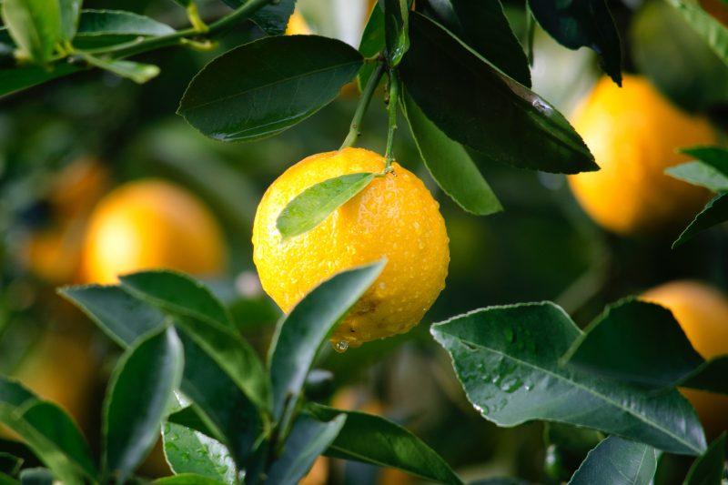 Meyer lemons hanging off the branch.