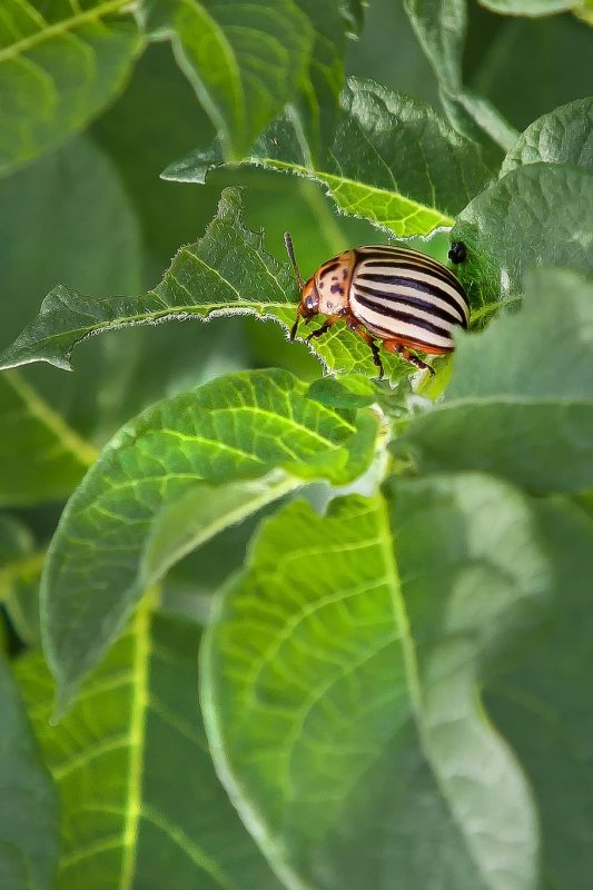 Striped cucumber beetle eating a cucurbit plant.