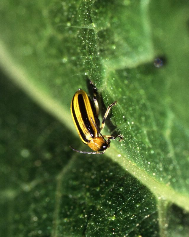 Cuumber beetle eating a leaf.