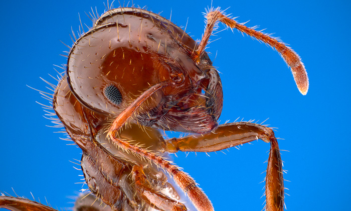 Fire ant closeup shot.