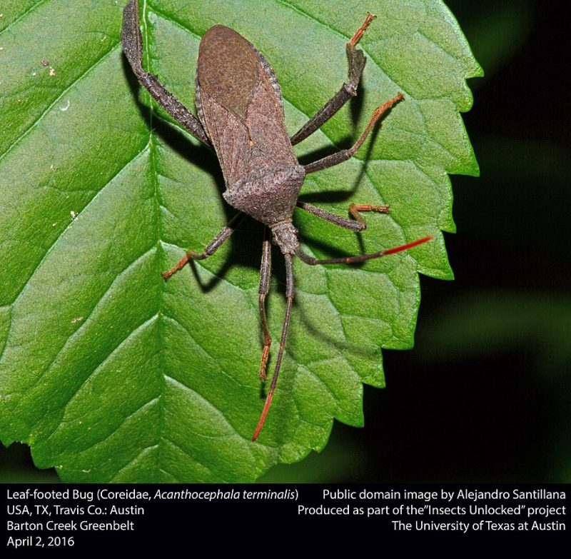 A giant leaf footed bug eating a plant.