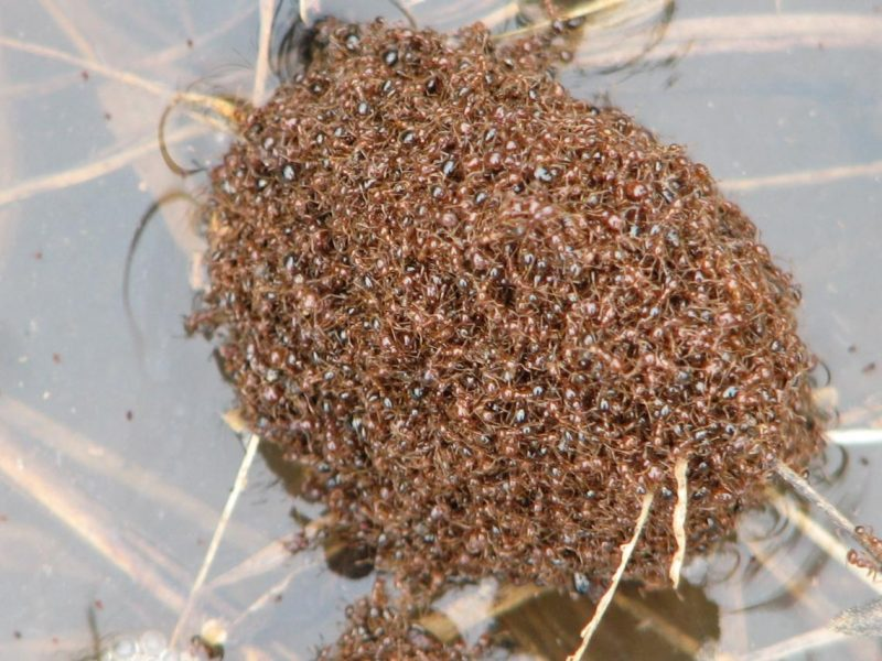 Fire ants float and don't drown.