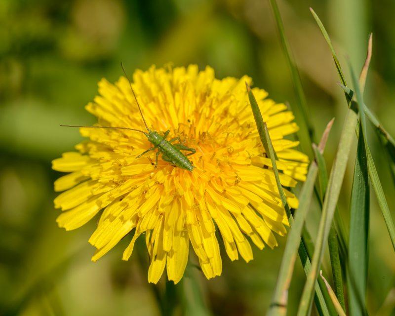 Cricket eating flower.