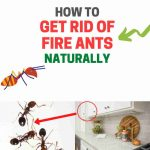 How to Get Rid of Fire Ants Without Chemicals (Naturally)