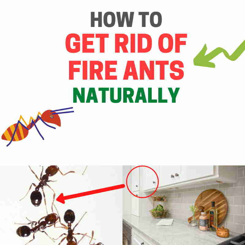 How to get rid of red ants naturally.