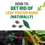 How to Get Rid of Leaf Footed Bugs Naturally (DIY Remedies)
