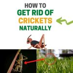 How to Get Rid of Crickets Outside Naturally (Ultimate Guide)