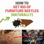 How to Get Rid of Furniture Beetles (Woodworms)