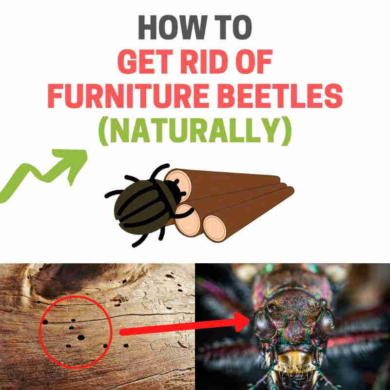 How to get rid of furniture beetles.
