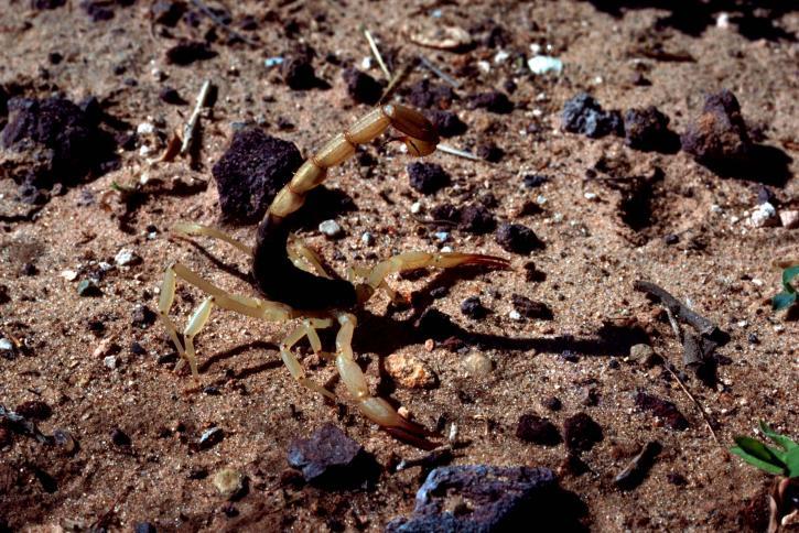 Arizona bark scorpion.