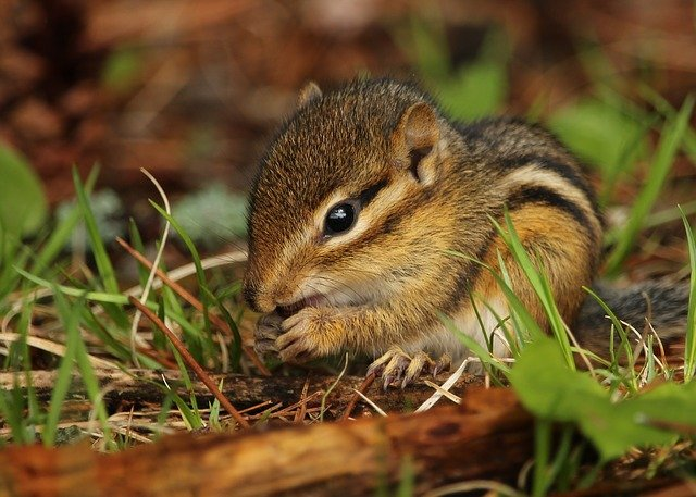 Chipmunk eating a seed from a plant.