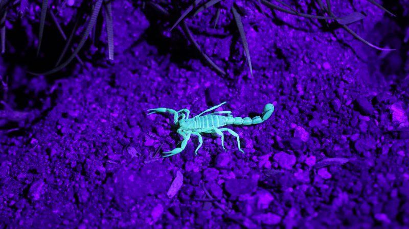 Scorpion glowing under a UV light.